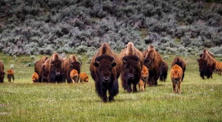 Lots of bison of different ages