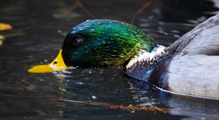 A duck eating