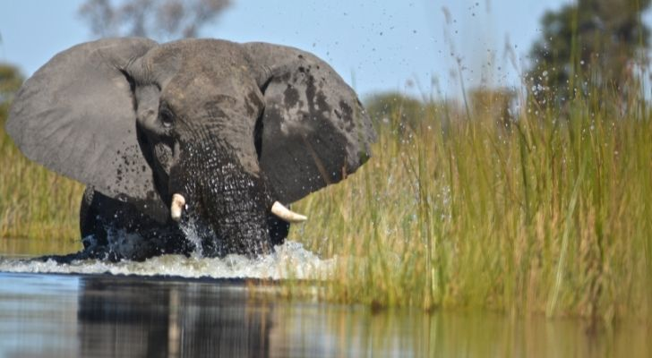 A happy elephant swimming in water