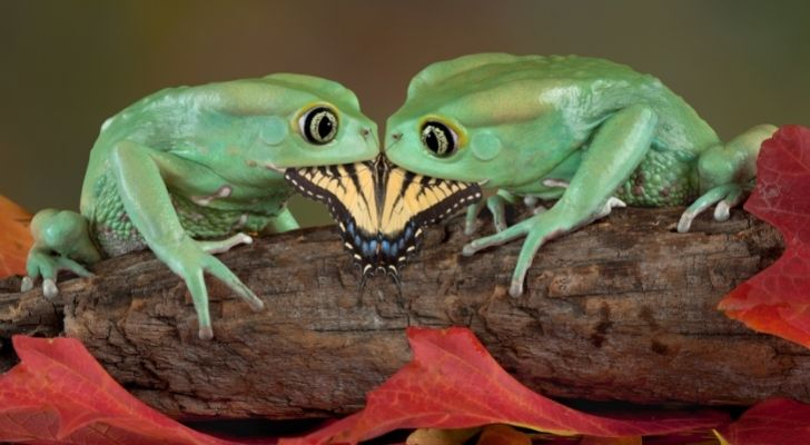 Two green frogs eating a butterfly