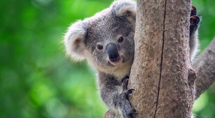 A Koala bear smiling