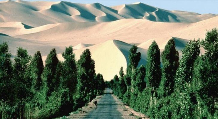 Green trees lined up in the Sahara Desert