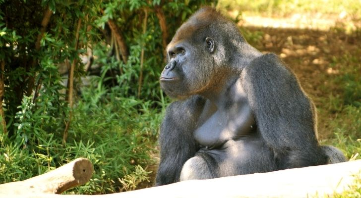 A silverback gorilla looking big and strong