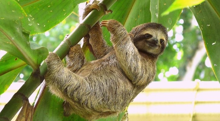 A sloth happily hanging from a tree
