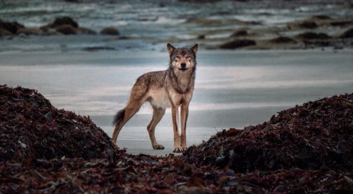 A Vancouver Island Wolf looking at the photographer