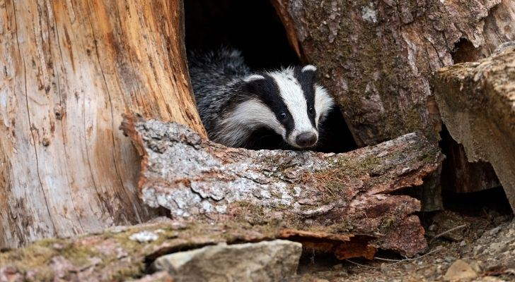 A badger hiding between tree trunks