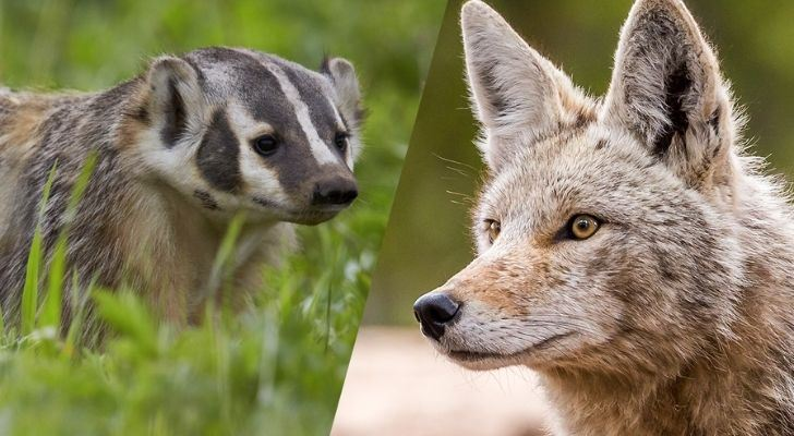 A badger on the left and a coyote on the right