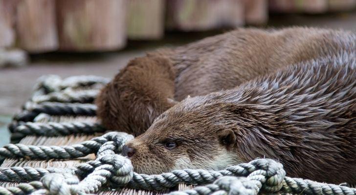 An otter on a net