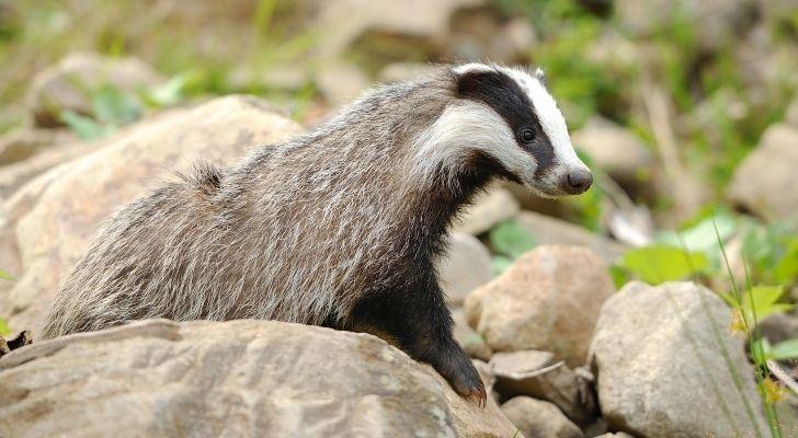 Badgers don't hibernate