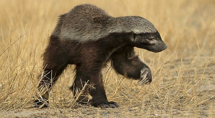 The honey badger is a fierce animal