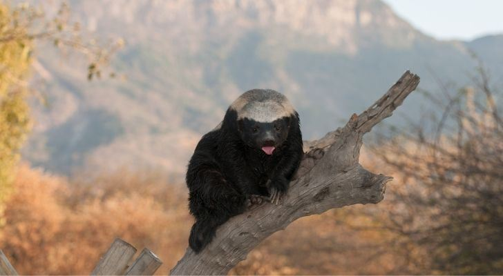A honey badger in a tree