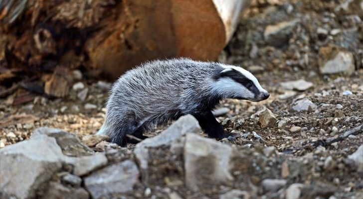 A small badger walking