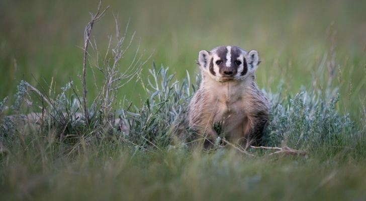 A badger standing in the grass