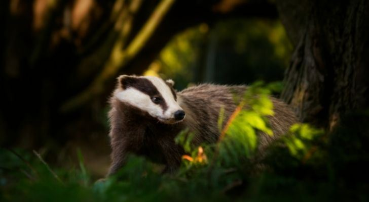 A badger in the night
