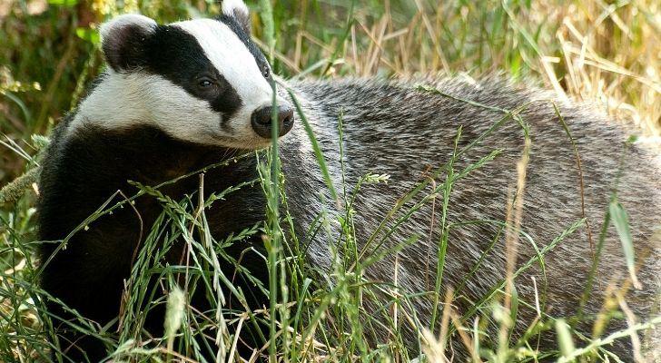 A UK badger walking in long grass