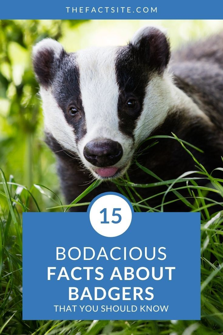 15 Bodacious Facts About Badgers