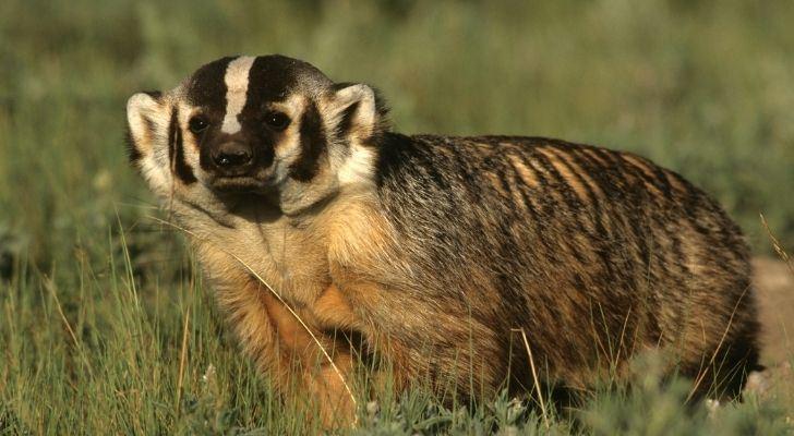 An adorable badger