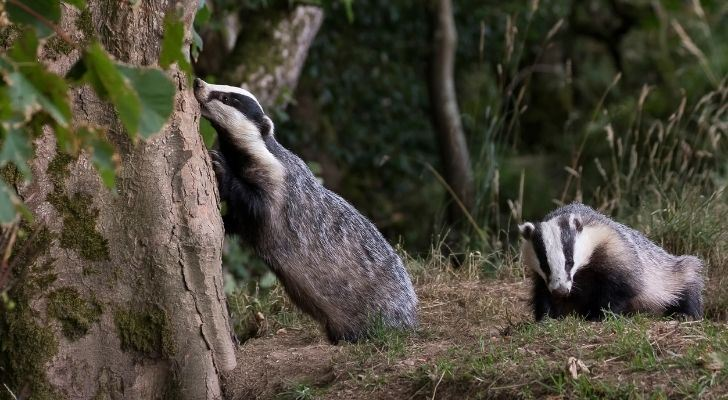 Two badgers in the United Kingdom