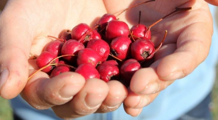 Someone holding a handful of bright cranberries