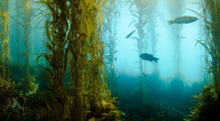 Kelp seaweed under the sea