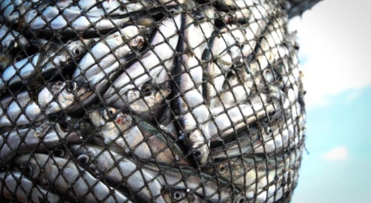 Lots of fish caught in a fish net