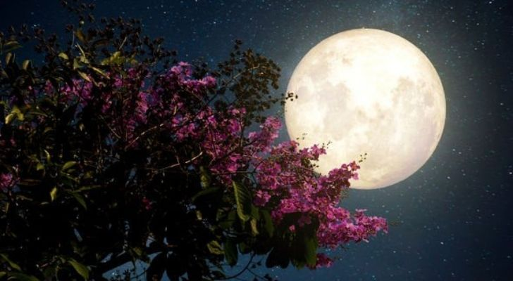 The full moon of June with a blossoming tree in front of it