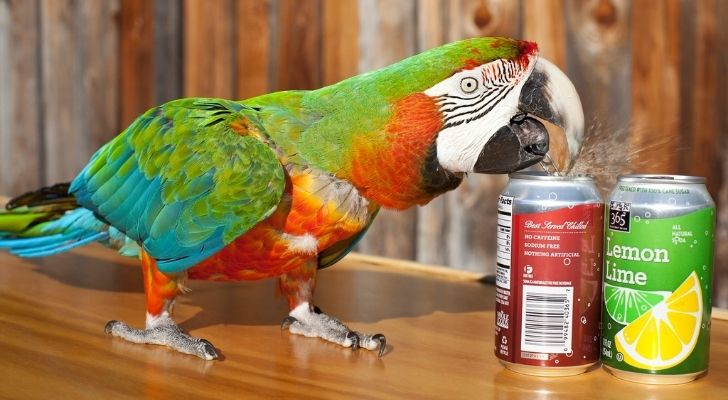 Zac the macaw opening soda cans